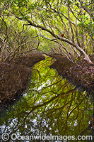 Mangrove Forest Coffs Harbour Photo - Gary Bell