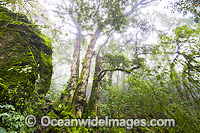 Antarctic Beech Forest in mist photo