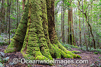 Antarctic Beech Forest image
