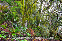 New England National Park Rainforest photo