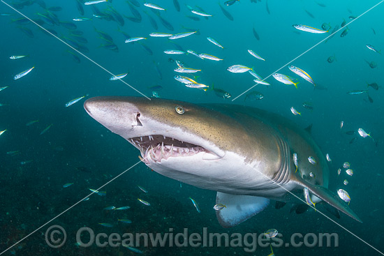 Grey Nurse Shark (Carcharias taurus), with baitfish. Known as Grey Nurse Shark in Australia, Sand Tiger Shark in USA and Ragged-tooth Shark in South Africa. Solitary Islands, NSW, Australia. Vulnerable on IUCN Red List of Threatened Species. Photo - Gary Bell