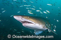 Grey Nurse Shark with baitfish Photo - Gary Bell