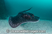 Blotched Fantail Ray Taeniura meyeni photo