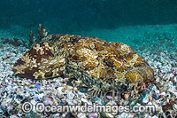 Banded Wobbegong Shark Orectolobus halei photo