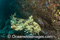 Spotted Wobbegong Shark Orectolobus maculatus Photo - Gary Bell