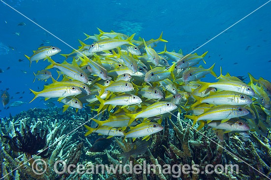 Schooling Yellow-striped Goatfish (Mulloidichthys vanicolensis). Found throughout the Indo-Pacific, from Red Sea to Hawaii and the Tuamotus, north to Japan and Lord Howe Island. Photo taken in Papua New Guinea.