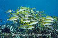Yellow-striped Goatfish Photo - Hayley Versace