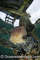 Lions Mane Jellyfish with pelagic fish photo
