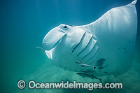 Reef Manta Ray photo