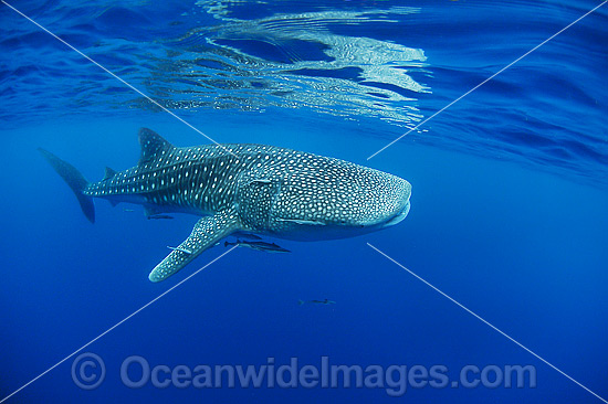 Whale Shark (Rhincodon typus). Found throughout the world in all tropical and warm-temperate seas. Photo taken at Ningaloo Reef, WA, Australia. Classified Vulnerable on the IUCN Red List. Photo - Hayley Versace
