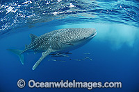 Whale Shark Ningaloo Reef Photo - Hayley Versace