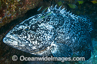 Black Cod (Epinephelus daemelii). Also known as Saddletail Grouper & Black Rock-cod. Found in Sth-east Australia, Sth Qld to Mallacoota, Vic. Norfolk Island, Elizabeth and Middleton Reefs, Lord Howe Island, to Nth NZ. Solitary Islands, NSW, Australia. Photo: Gary Bell