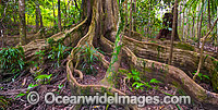 Blue Quandong Tree Roots Photo - Gary Bell