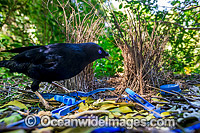 Bowerbird at bower Photo - Gary Bell
