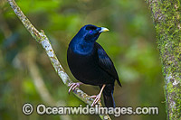 Satin Bowerbird Photo - Gary Bell