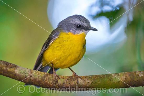 Eastern Yellow Robin (Eopsaltria australis). Found in a wide range of habitat from dry woodlands to rainforest of Eastern and South-eastern Australia. Photo taken at Lamington World Heritage National Park, Queensland, Australia. Photo - Gary Bell