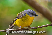 Eastern Yellow Robin Photo - Gary Bell