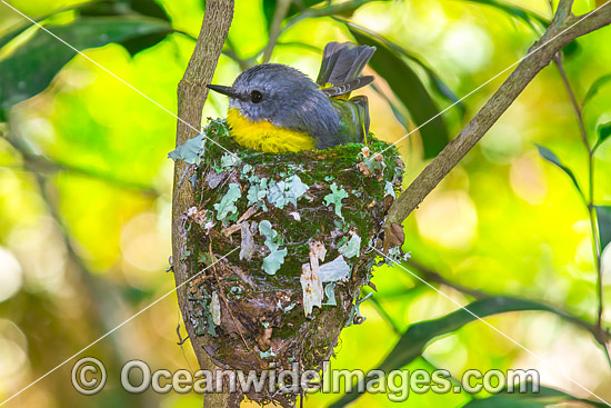 Eastern Yellow Robin (Eopsaltria australis) - parent bird in nest. Lamington Plateau, South-eastern Queensland. Found in a wide range of habitat from dry woodlands to rainforest of Eastern and South-eastern Australia. Photo - Gary Bell