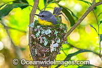 Eastern Yellow Robin in nest Photo - Gary Bell