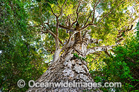 Giant Brush Box tree Photo - Gary Bell