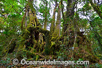 Antarctic Beech Trees Photo - Gary Bell
