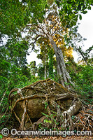 Strangler Fig Tree roots around boulder Photo - Gary Bell