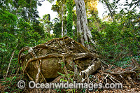 Strangler Fig Tree roots entangling boulder Photo - Gary Bell
