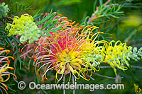 Grevillea flowers (Grevillea sp.). Photo was taken in south-east Queensland, Australia. Photo: Gary Bell