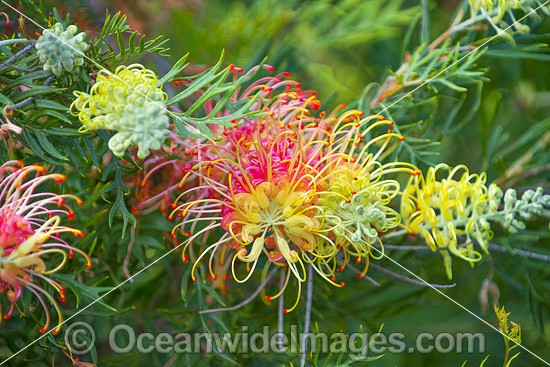 Grevillea flowers (Grevillea sp.). Photo was taken in south-east Queensland, Australia. Photo - Gary Bell