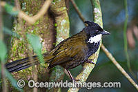 Eastern Whipbird Psophodes olivaceu photo