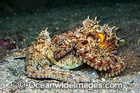 Common Octopus mating Photo - Michael Patrick O'Neill