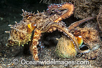 Common Octopus mating image