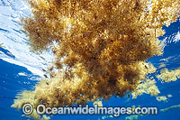 Sargassum Weed Florida Photo - Michael Patrick O'Neill
