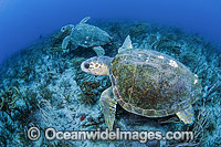 Loggerhead Sea Turtle Florida Photo - Michael Patrick O'Neill