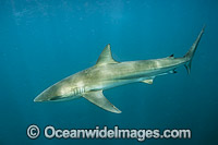Dusky Shark Florida Photo - Michael Patrick O'Neill