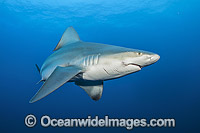Sandbar Shark Florida photo