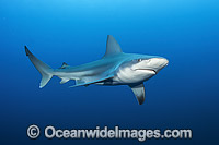 Sandbar Shark Photo - Michael Patrick O'Neill