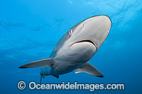 Silky Shark Photo - Michael Patrick O'Neill
