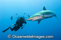 Diver and Silky Shark photo