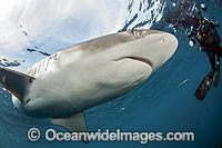 Diver and Silky Shark Photo - Michael Patrick O'Neill