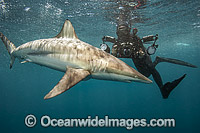 Diver with Spinner Shark image