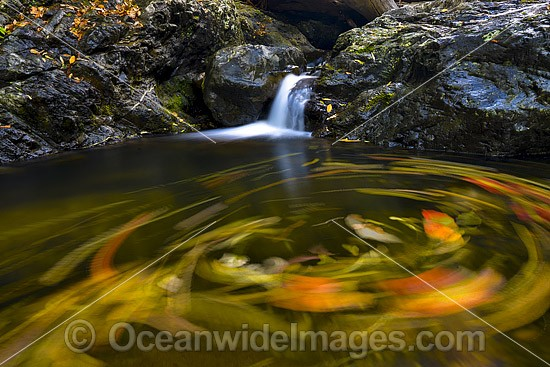 Floating leaves swirling on the surface of a rainforest waterhole with falls, situated on the Urumbilum River in the Bindarri National Park, near Coffs Harbour, New South Wales, Australia. Photo - Gary Bell