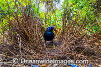 Satin Bowerbird at bower Photo - Gary Bell