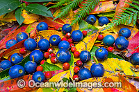 Rainforest Fruit and leaves Photo - Gary Bell