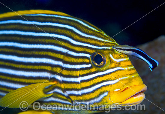 Cleaner Wrasse (Labroides dimidiatus), cleaning a Ribbon Sweetlips (Plectorhinchus polytaenia). Found throughout the Indo-Pacific. Photo taken at Tulamben, Bali, Indonesia. Within the Coral Triangle. Photo - Gary Bell