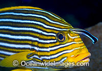 Ribbon Sweetlips cleaned by Wrasse Photo - Gary Bell