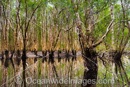 Paperbark Forest and Swamp, situated in the Bongil Bongil National Park, near Coffs Harbour, New South Wales, Australia. Photo - Gary Bell
