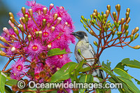 Noisy Miner in flowering gum tree Photo - Gary Bell