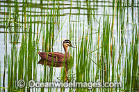 Pacific Black Duck photo