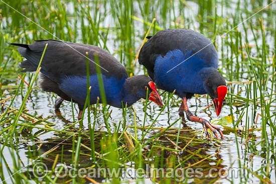 Purple Swamphen (Porphyrio porphyrio). Found around fresh water, usually near reeds in southern Western Australia and eastern Australia. Photo taken in Coffs Harbour, NSW, Australia. Photo - Gary Bell